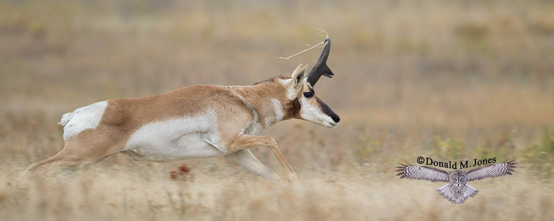 Pronghorn-Antelope04433D