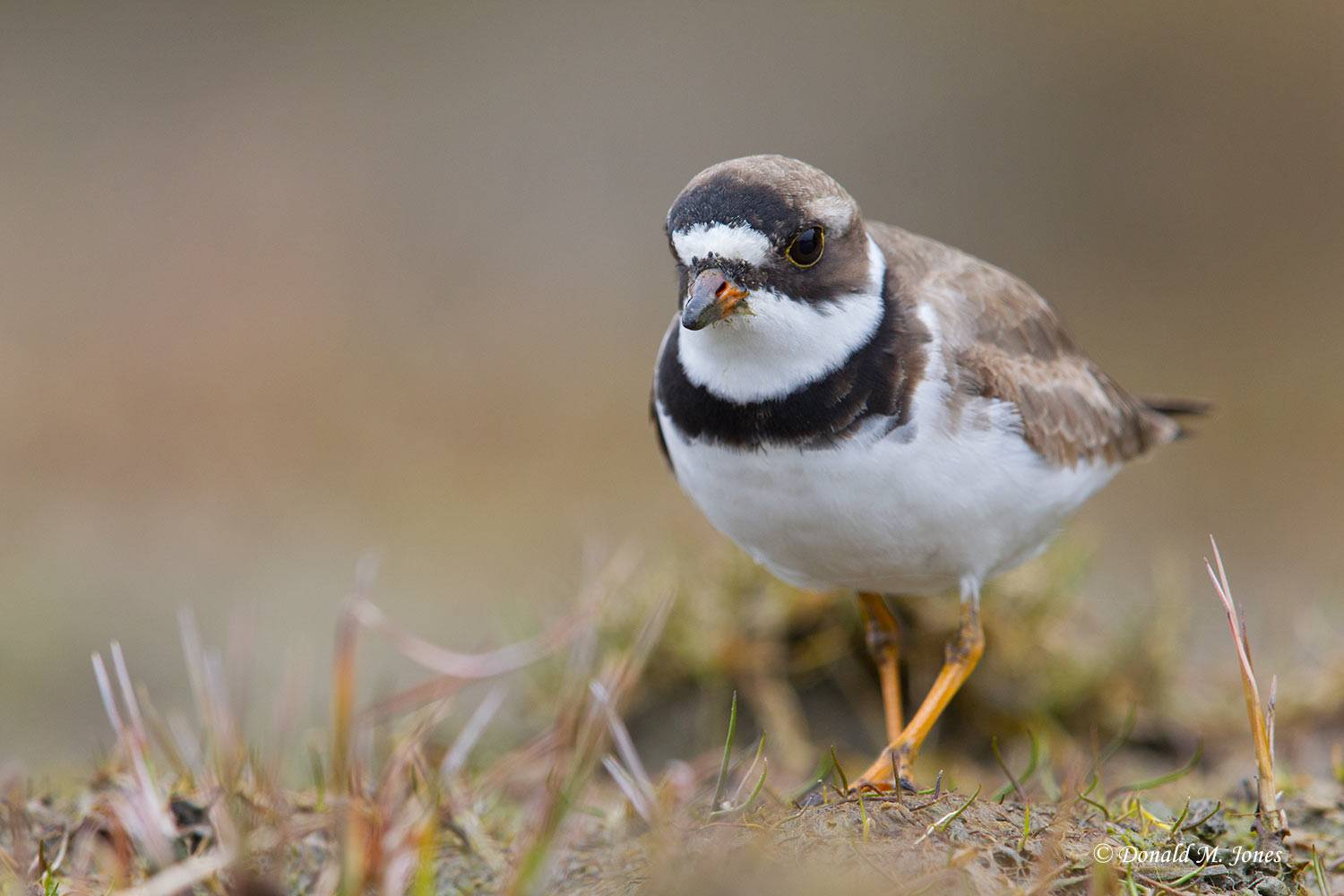 Semipalmated-Plover0108D