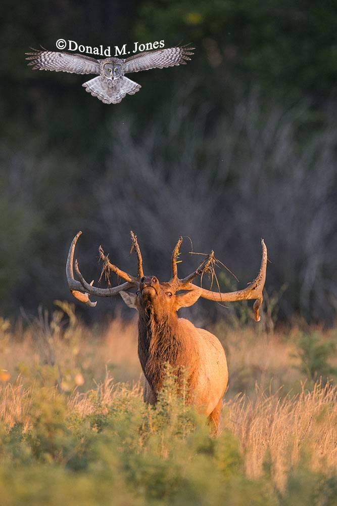 Elk-(Rocky-Mtn)25752D