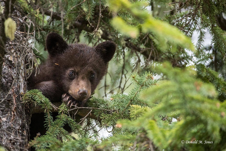 Black-Bear07567D