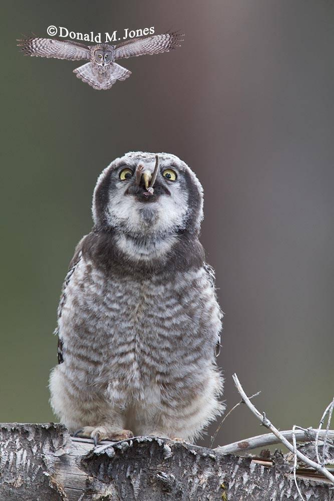 Northern-Hawk-Owl0179D