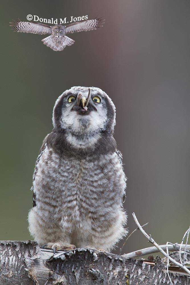 Northern-Hawk-Owl0179D