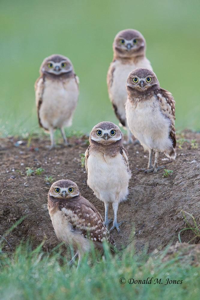 Burrowing-Owl0712D