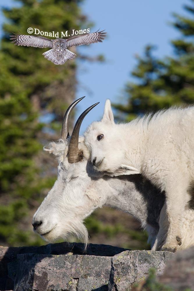 Mountain-Goat01861D