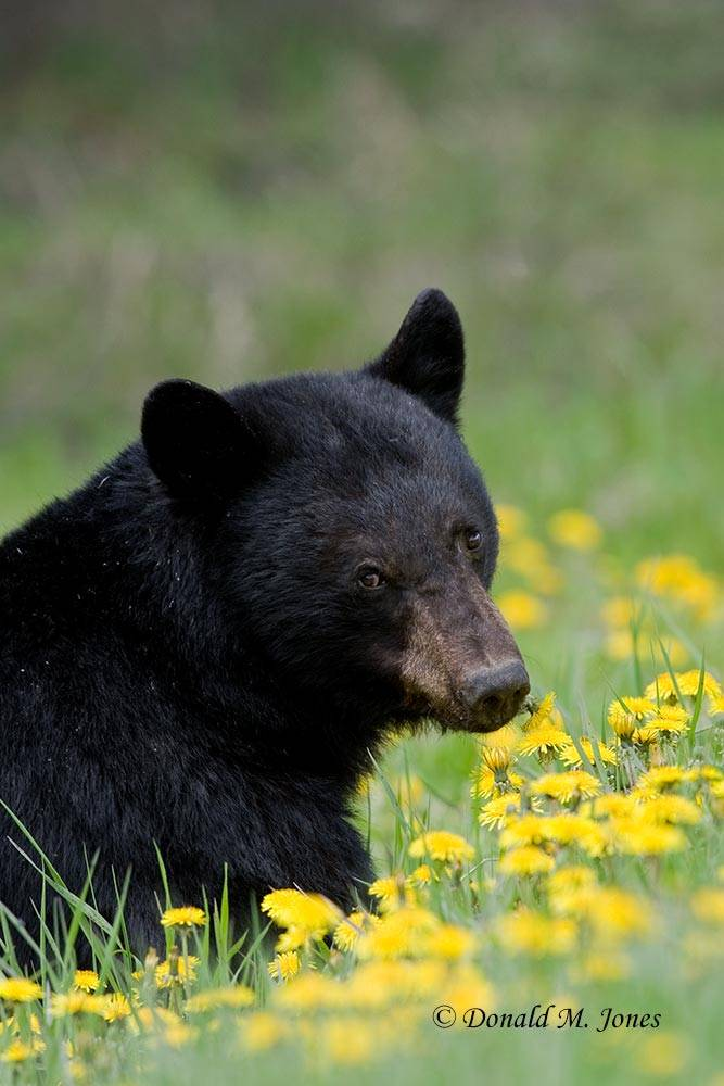 Black-Bear04199D