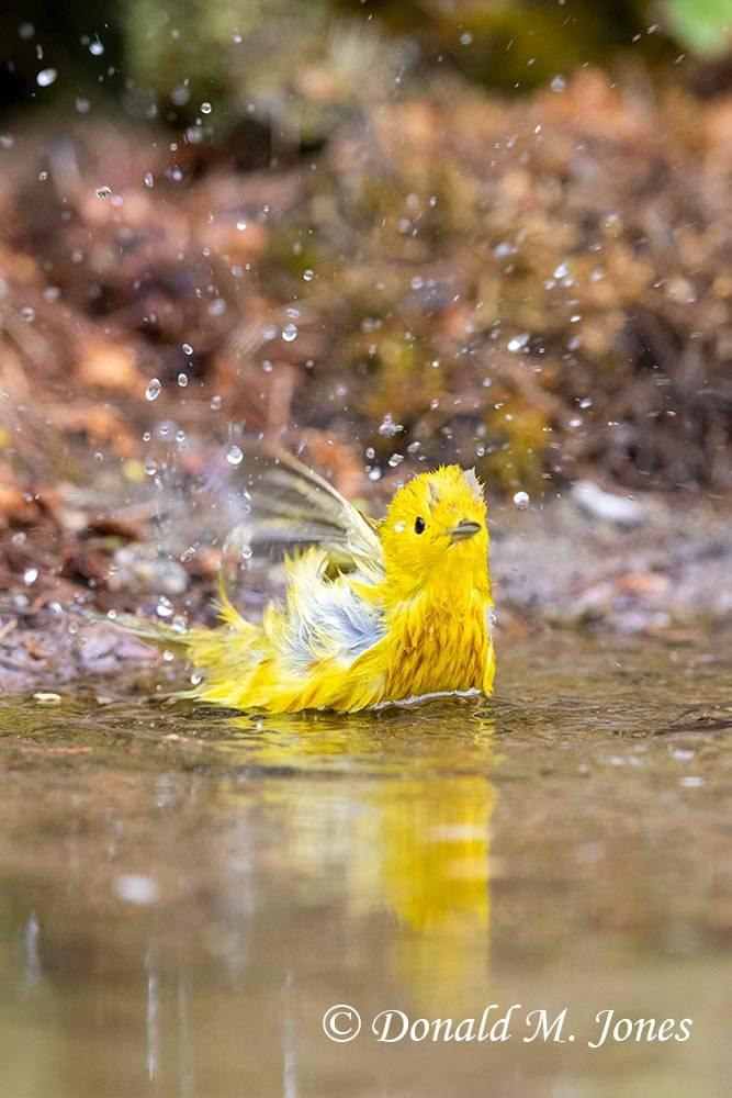 May 20 - Yellow Warbler0257D