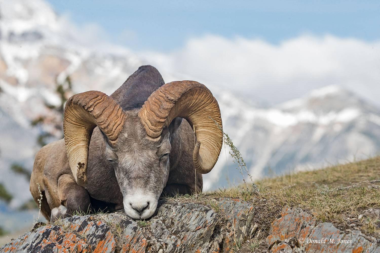 Bighorn-Sheep05493D