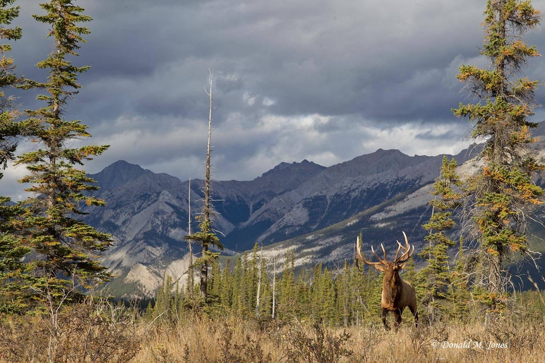Elk-(Rocky-Mtn)21131D