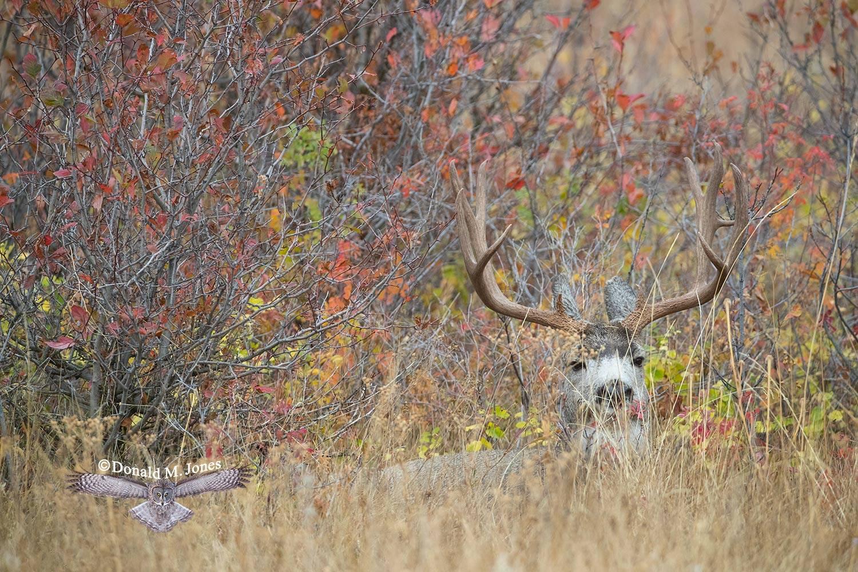Mule-Deer11166D