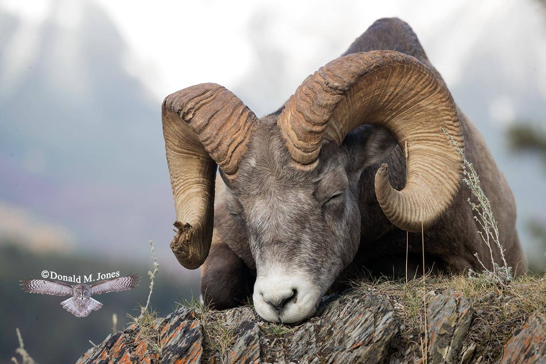 Bighorn-Sheep05494D