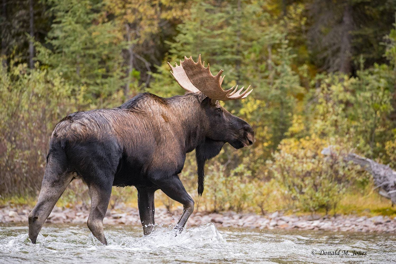 Moose06479D