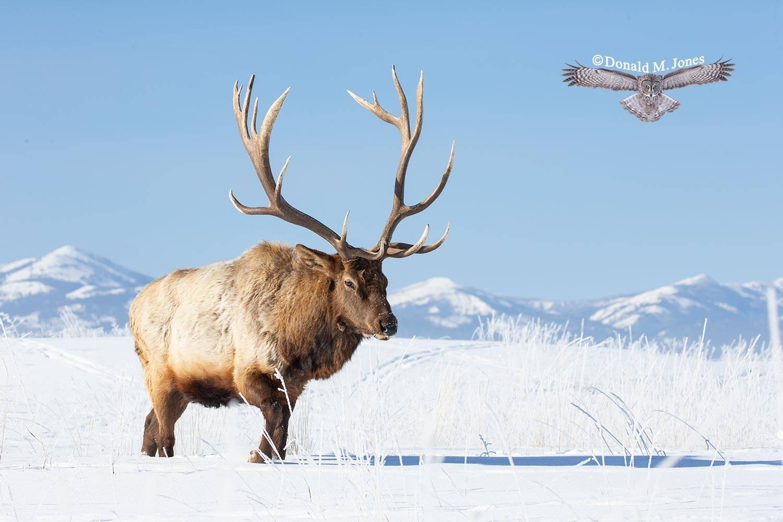Elk-(Rocky-Mtn)26563D