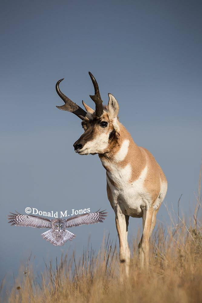 Pronghorn-Antelope05072D