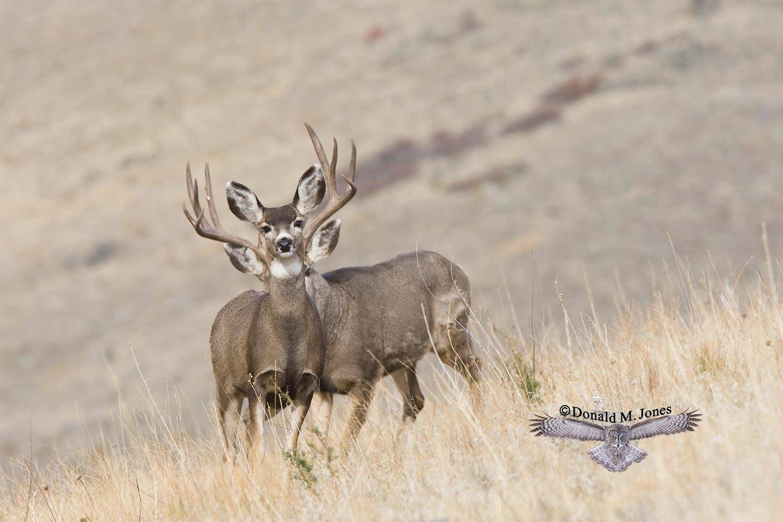 Mule-Deer07624D
