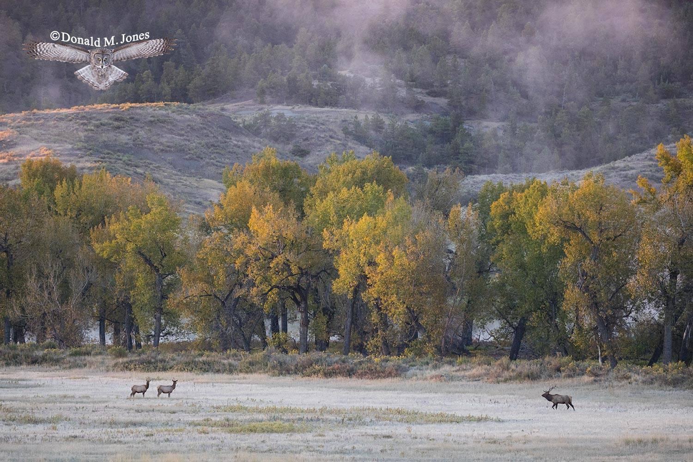 Elk-(Rocky-Mtn)23174D