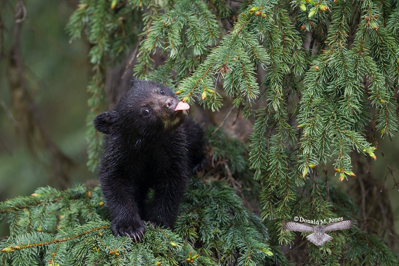 Black-Bear07799D