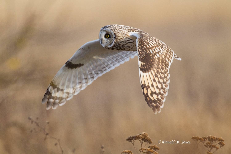 Short-eared-Owl0349D