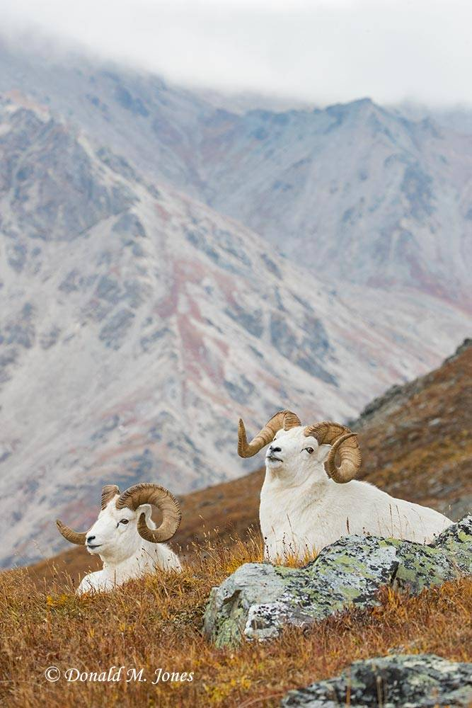 Dall-Sheep02167D