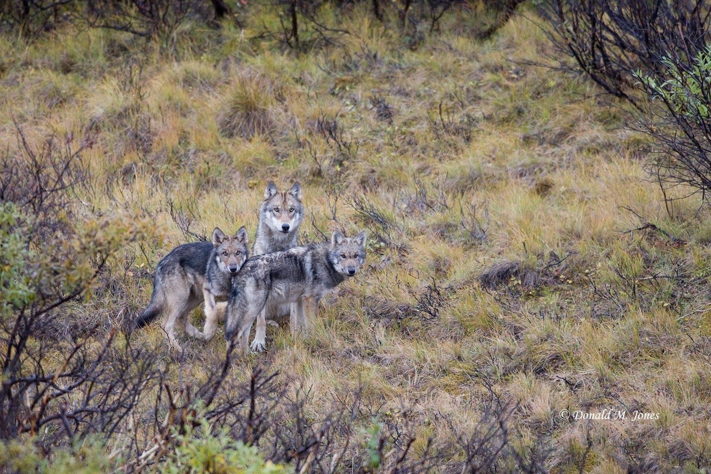Wolf0567D
