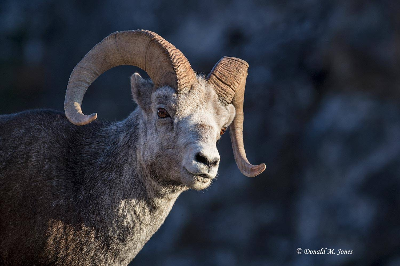 Stone-Sheep0182D