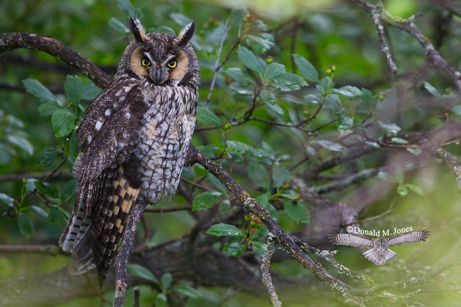 Long-eared-Owl0111D