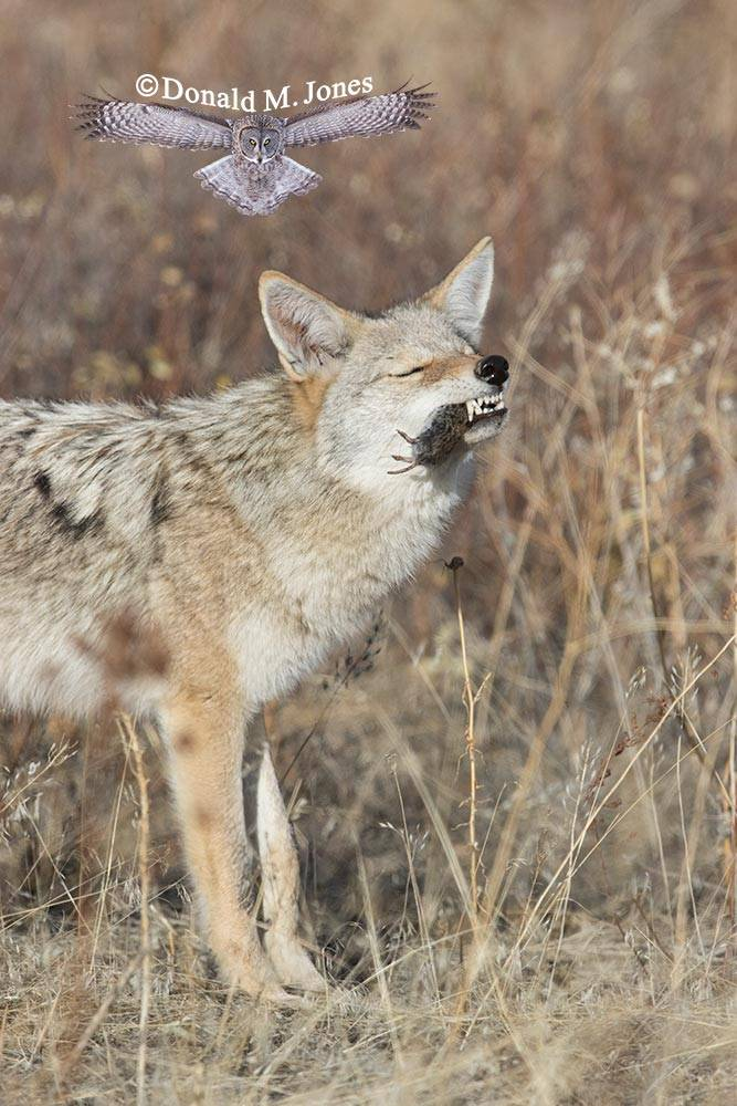 Coyote2523D