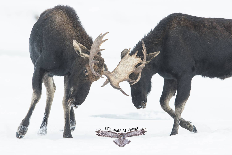 Moose06385D