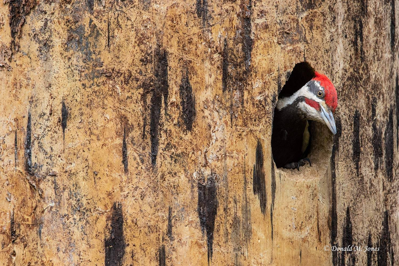 Pileated-Woodpecker0123D