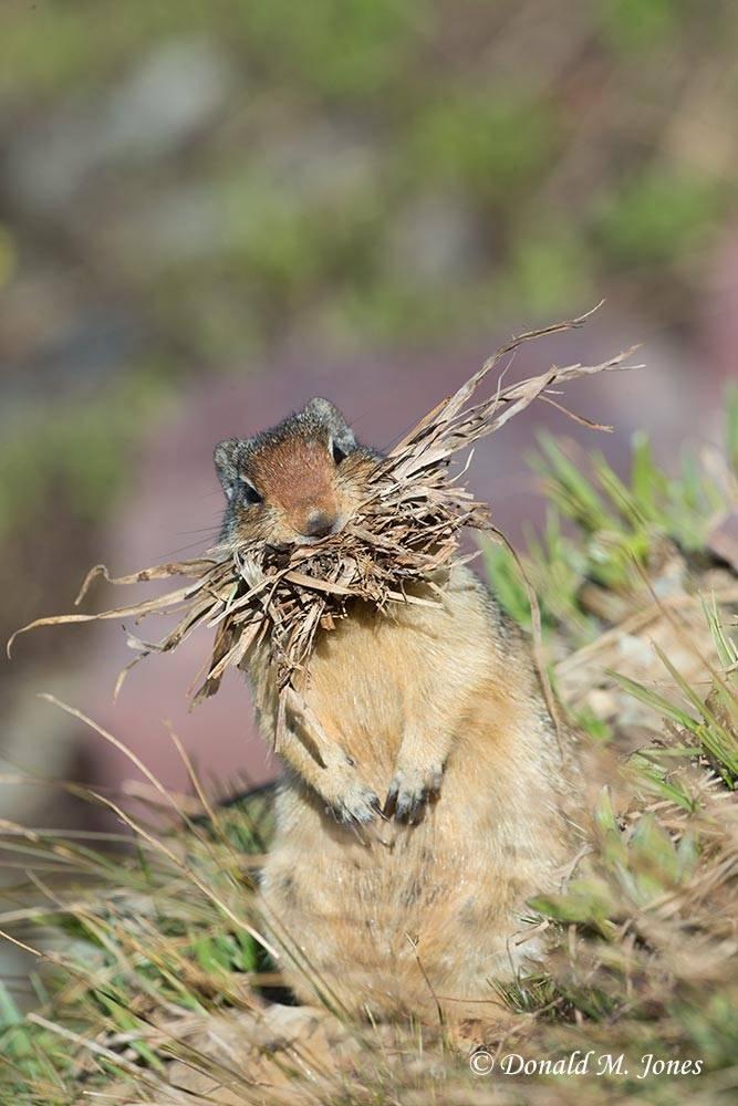 Columbian-Groundsquirrel0163D