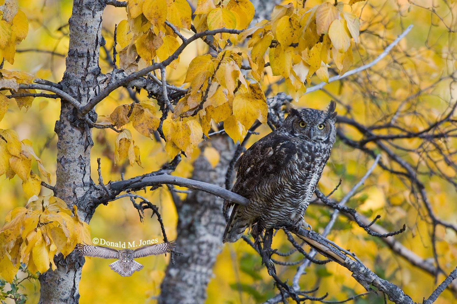 Great-Horned-Owl0194D