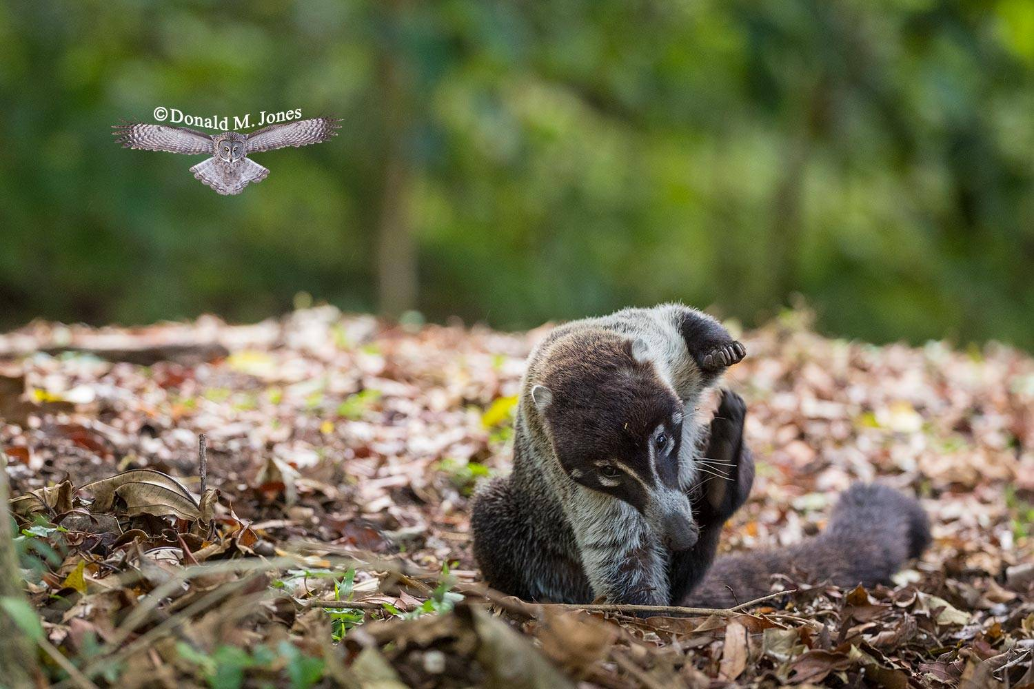White-Nosed-Coati0106D