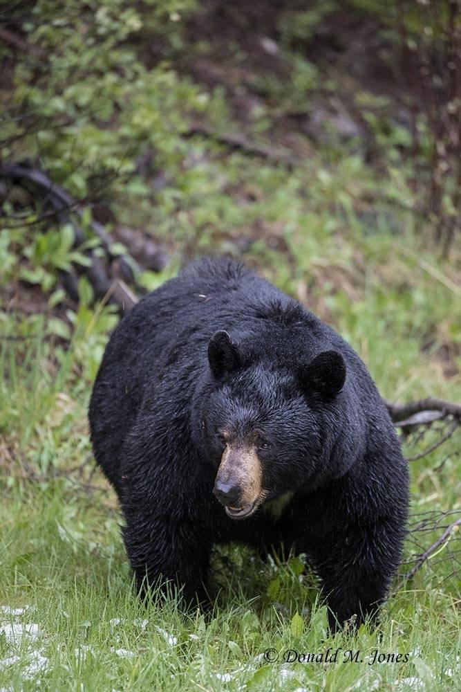 Black-Bear07990D