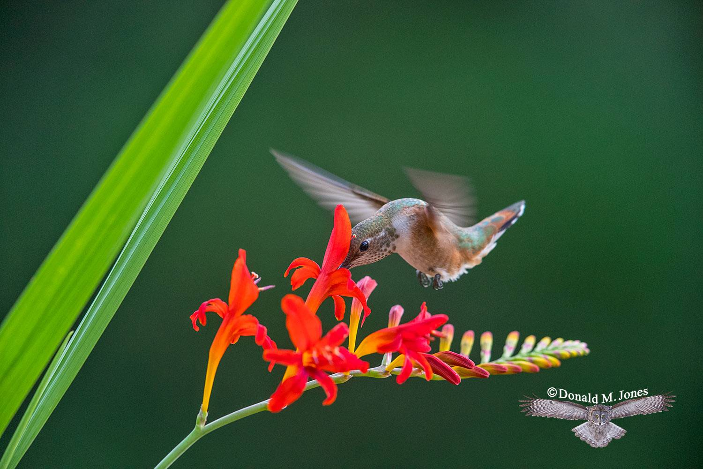 Rufus-Hummingbird0680D