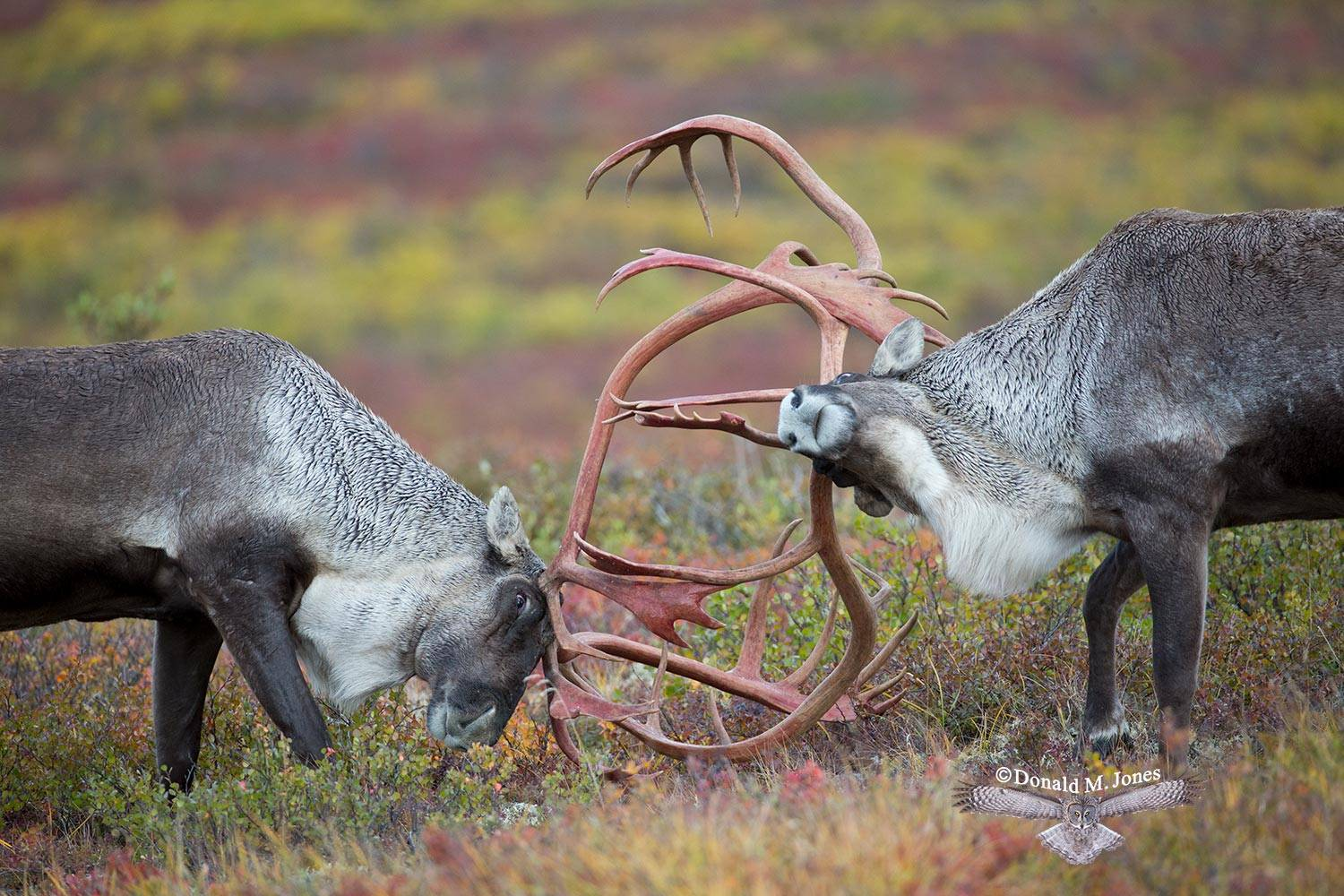 Barren-Ground-Caribou02833D