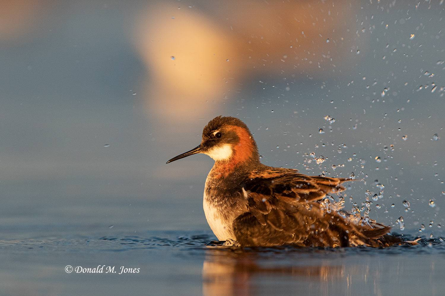 May 27, Red-neck Phalarope