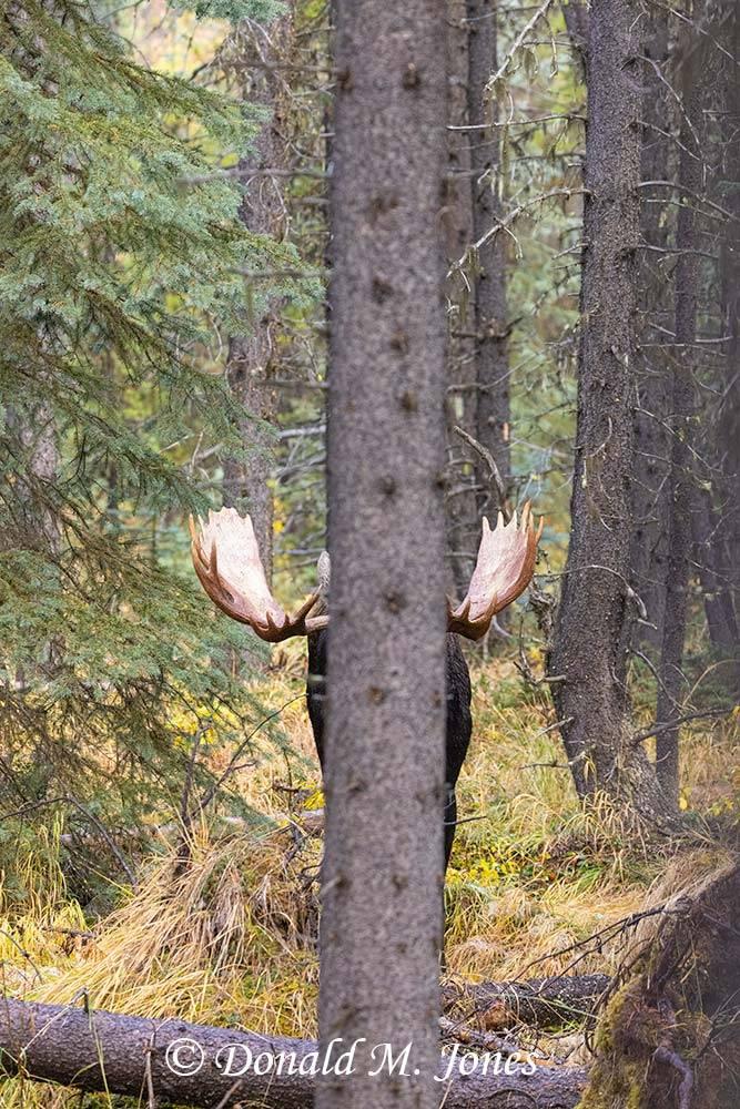Moose07512D