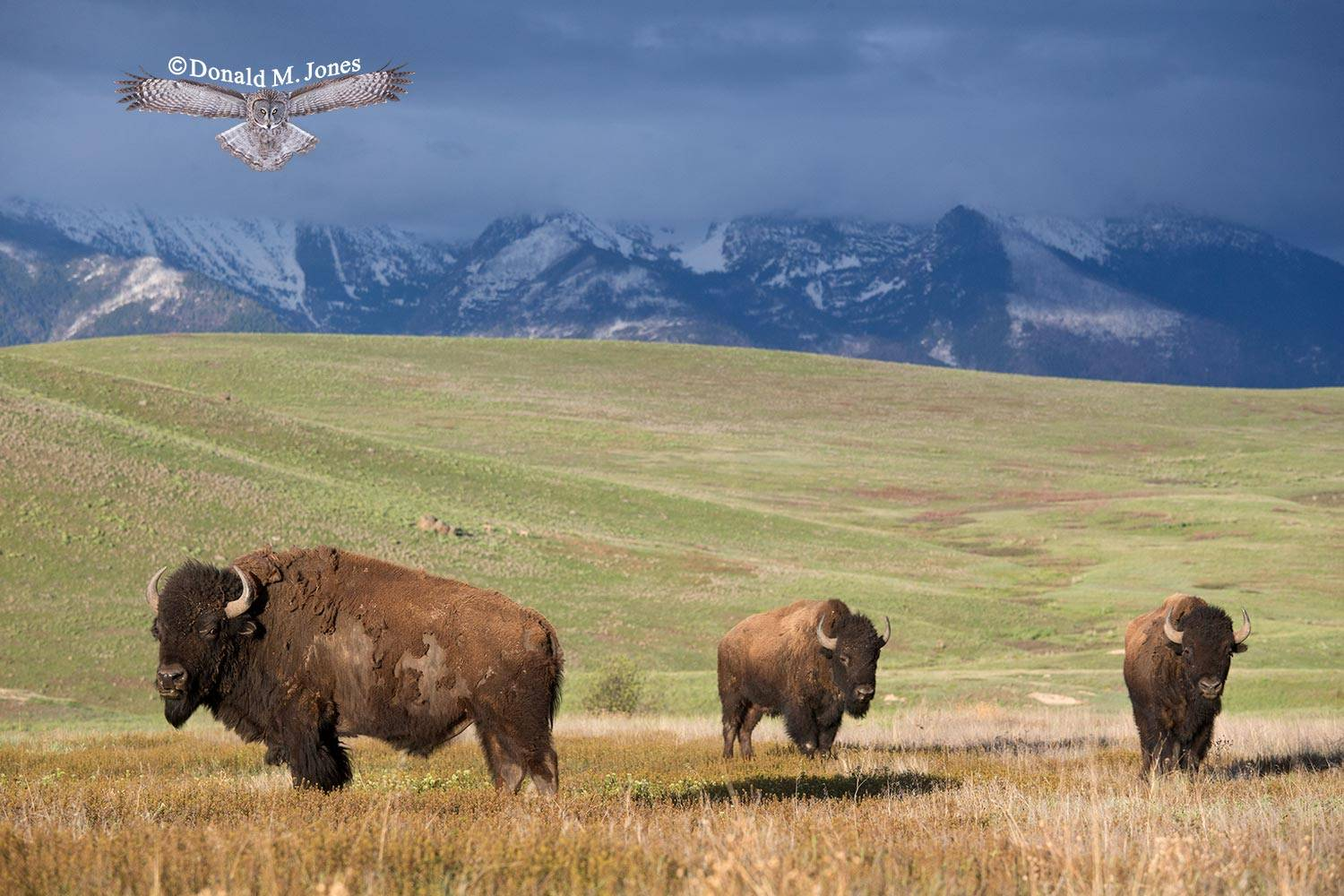 American-Bison01783D