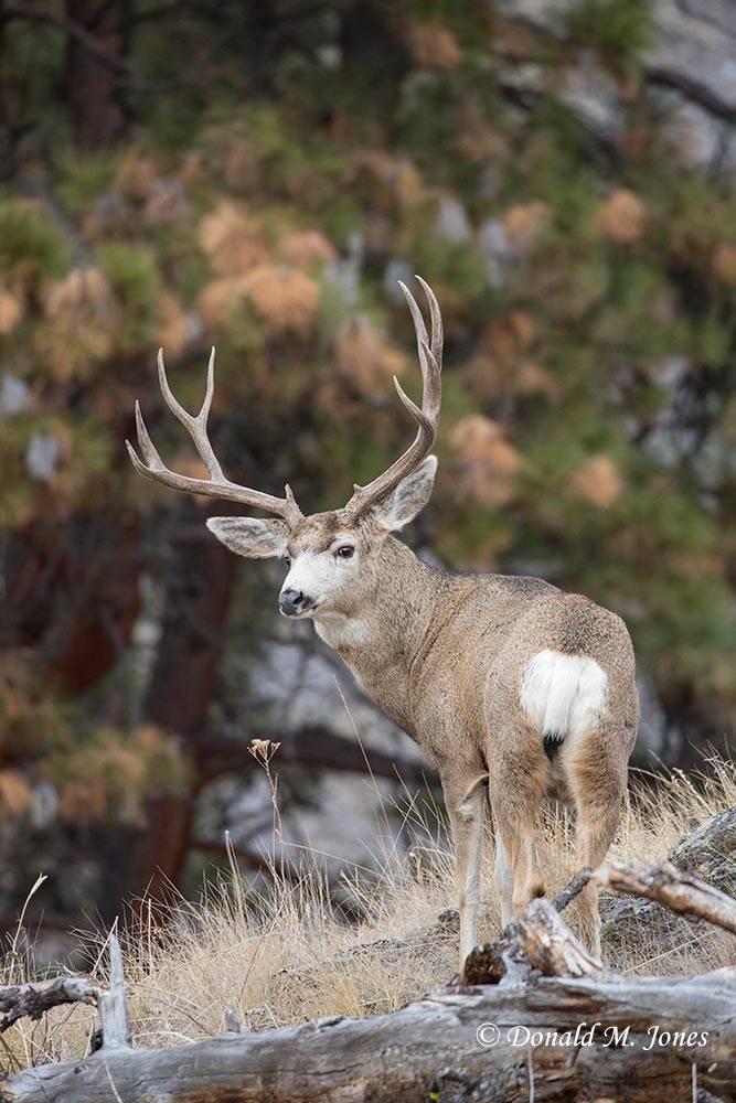 Mule-Deer11884D