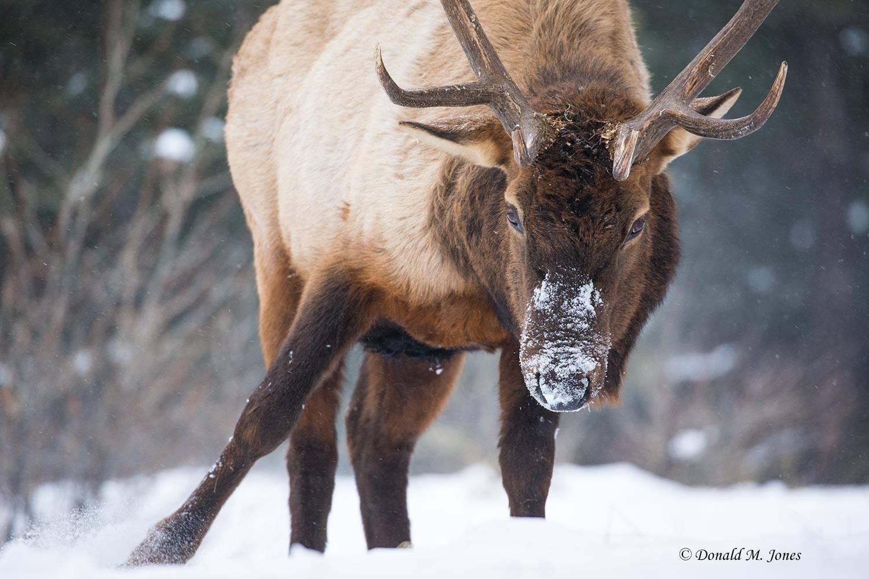 Elk-(Rocky-Mtn)25365D