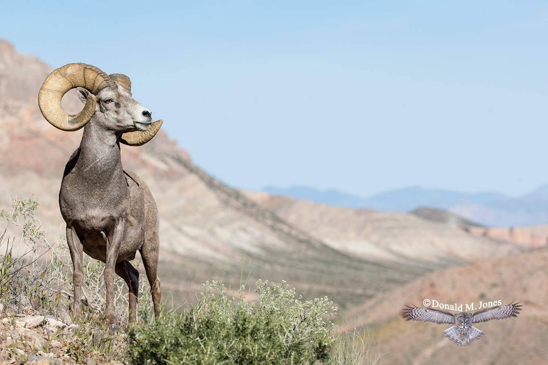 Desert-Bighorn-Sheep00942D