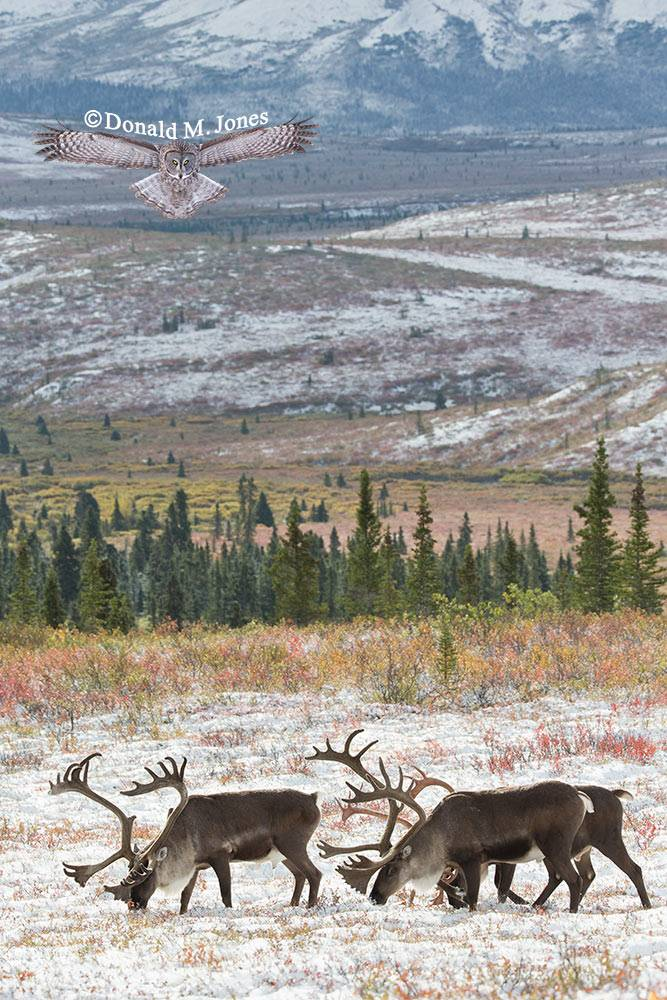 Barren-Ground-Caribou03428D