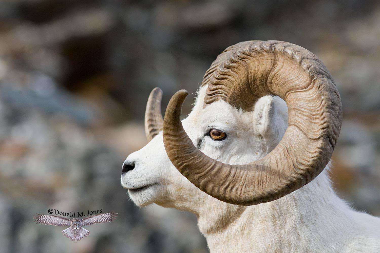 Dall-Sheep01130D