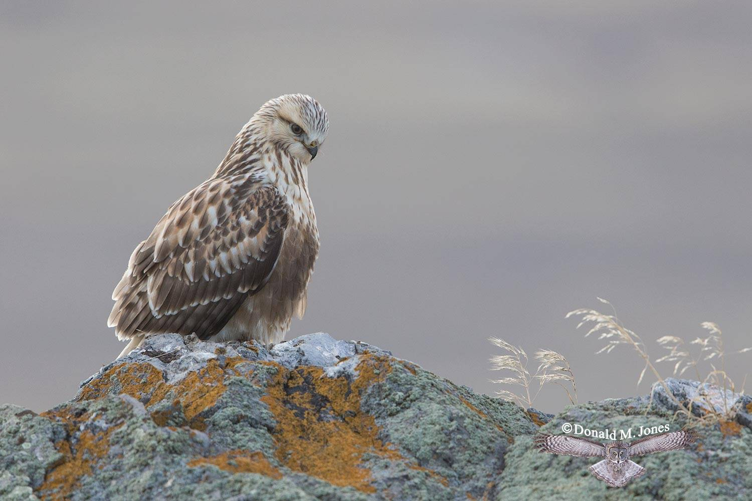 Rough-legged-Hawk0136D