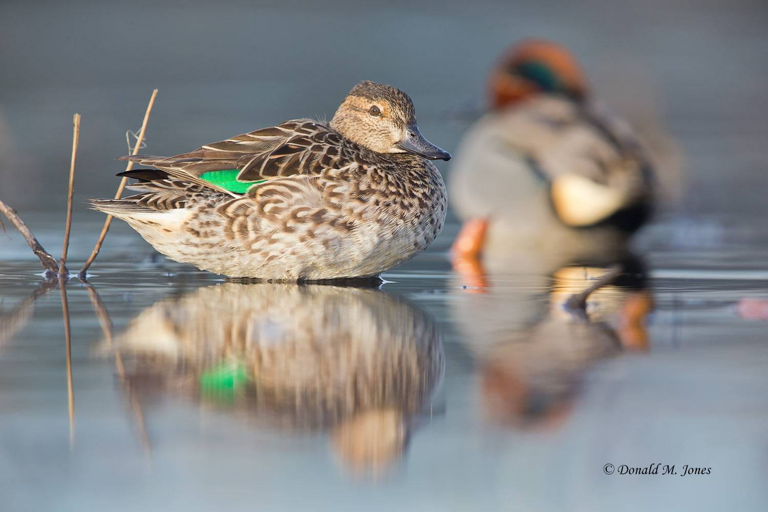 Green-wing-Teal0222D