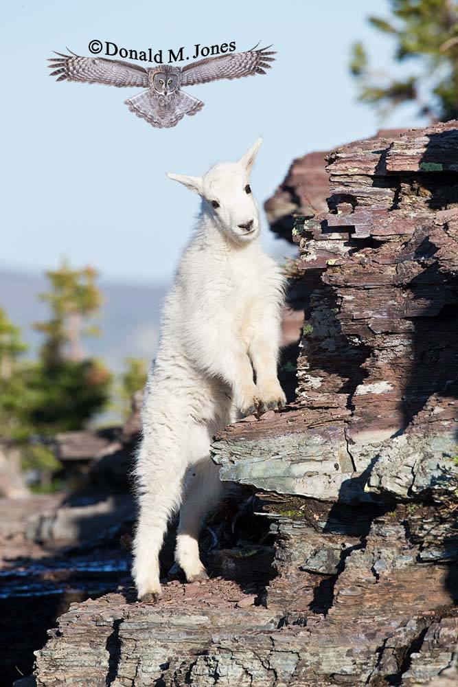 Mountain-Goat02554D