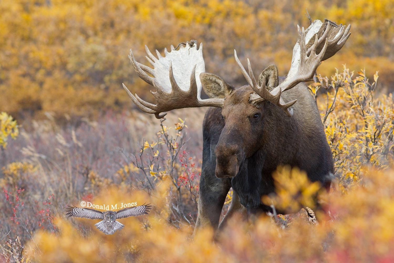 Moose03831D