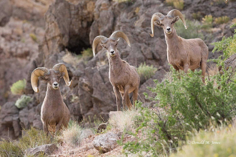 Desert-Bighorn-Sheep00624D
