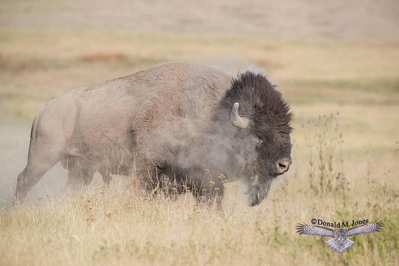 American-Bison02570D