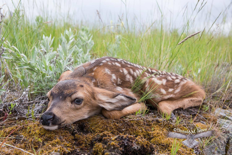 Mule-Deer10004D