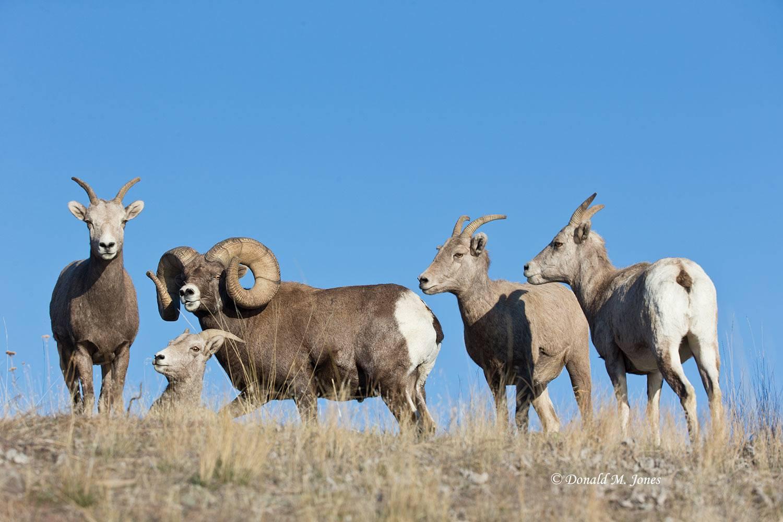 Bighorn-Sheep04824D